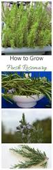 fresh rosemary herb to grow in patio containers winter months