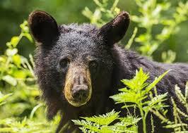 Indiana wild animals images Indiana 39 s black bear indiana wildlife federation jpg