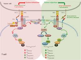 by p d frontiers the pd1 pd l1 2 pathway from discovery to clinical