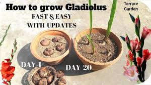 easiest way to grow gladiolus in your terrace garden fast easy in hindi