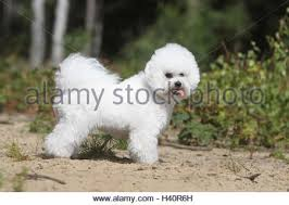 bichon frise breed standard dog bichon frise standard profile stock photo royalty free