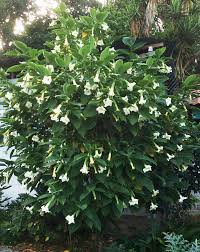 White Trumpet Flower - this is the angels trumpets page of our a to z garden guide how