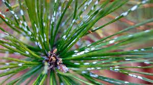 white spots on your pine needles uh oh toronto gardens