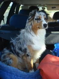 australian shepherd family dog 536 best isis u0027 dogs images on pinterest