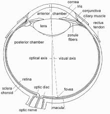 What Structure Of The Eye Focuses Light On The Retina Nervous System Notes