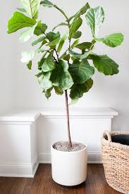 fiddle leaf fig tree in modern planter beautiful tall indoor