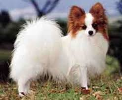 papillon papillon is also a small breed the name derives from