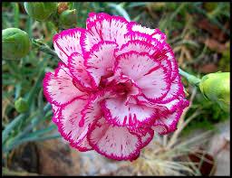 carnation flower wallpaper latest hd wallpapers