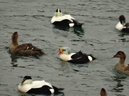 winter ducks on cape cod mary richmond u0027s cape cod art and nature