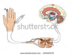 Pain Reflex Pathway Noxious Pain Receptors Skin Nerve Pathways Stock Vector 229165600