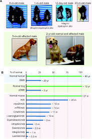 animal models of duchenne muscular dystrophy from basic