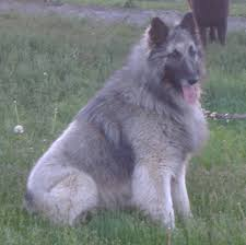 belgian sheepdog canada welcome to u003cfont size u003d