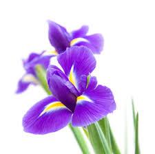 iris flowers flower facts the iris grower direct fresh cut