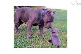 american pitbull terrier breeders st louis puppies for sale from muscle dog kennels member since august 2009