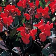 Cana Lilly Canna Lilly Homegrown Pinterest Canna Lily Dream Garden And