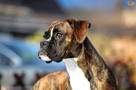boxer dog meme 45 amazing white and brown boxer dog golfian com