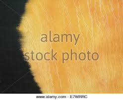 gold ochre oil painting background with canvas texture and thin