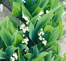 plants for rock gardens rock garden with lily of the valley plants lily of the valley