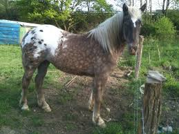 silver dapple blanket appaloosa i u0027m going to paint my schleich