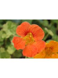 nasturtium flowers nasturtium flowers