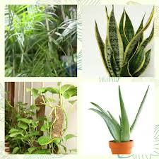 urban dweller breathe fresh air with these indoor plants these are the areca palm living room plant mother in law s tongue bedroom plant and money plant specialist plant