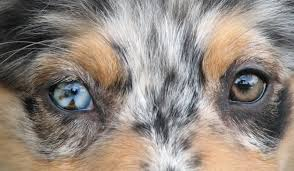 australian shepherd grey faithwalk aussies eyes pigment markings