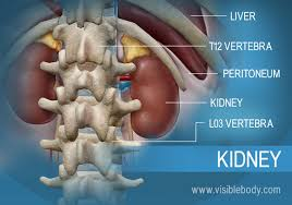Human Anatomy Liver And Kidneys Urinary Kidney