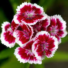 carnation flowers flowers images carnation wallpaper and background photos 29859879
