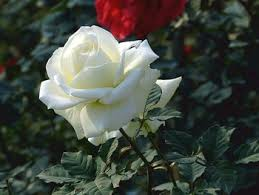 Roses For Sale Wholesale Different Types Of Fresh Cut Flowers White Roses For