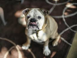 bulldog y boxer endangered dog breeds and the market forces behind them