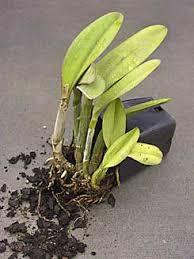 Orchid Plants Orchids 101