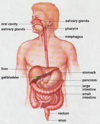 Esophagus And Stomach Anatomy Technology U0026 Living Standards Human Anatomy And Physiology