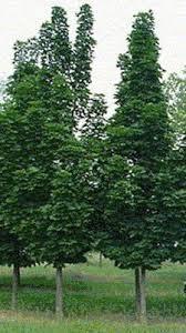 crimson king maple acer platanoides crimson king