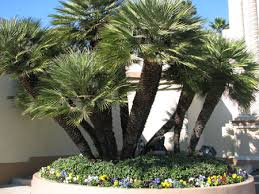 mediterranean fan palm tree mediterranean fan palm orange county palm trees by brooker associates