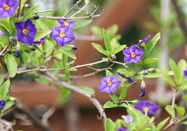 native plants of brazil growing the blue potato bush in the home garden