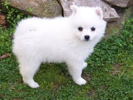 american eskimo dog varieties american eskimo puppy i want one always animals pinterest
