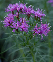 August Plant Of The Month Narrow Leaf Ironweed
