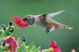 Hummingbird On A Flower - coextinction a moment of science indiana public media