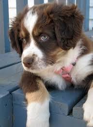 c me australian shepherds best 25 australian shepherd dogs ideas on pinterest do