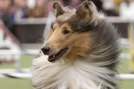 australian shepherd 2015 nationals national dog show 2015 results best in show and list of winners
