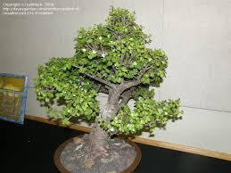 107 best bonsai trees images on bonsai trees plants