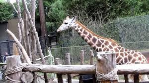 Zoo Lights Woodland Park Zoo by Feeding Giraffes At Woodland Park Zoo Youtube