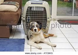 australian shepherd 4 months old australian shepherd puppy 4 month old male in a travel dog