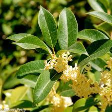Fragrant Olive Plant Osmanthus Fragrans Inland Valley Garden Planner