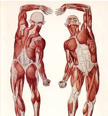 Human Anatomy Reference Human Anatomy Human Muscle Anatomy For Body Building Picture Of