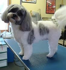 shih pooh haircut shih tzu