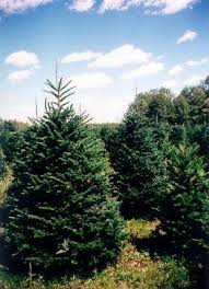 wholesale christmas trees bork tree farms wholesale nursery