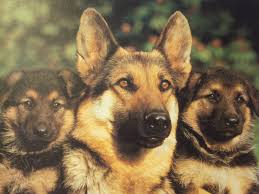 wallpaper desk dogs wallpapers dog wallpaperwallpaper desk german shepherd wallpapers wallpaper cave