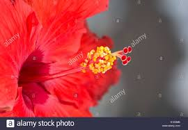 which state has a hibiscus flower behind ear stock photos u0026 flower behind ear stock images