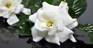 gardenia flower delivery high c supply co gardenias luxury flower delivery gardenia blooms